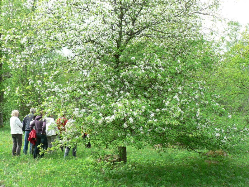 Laelatu puisniit,metsõunapuu